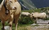 Randonneur attaqué par une vache: les Hautes-Pyrénées préconisent le prélèvement par précaution de 9...