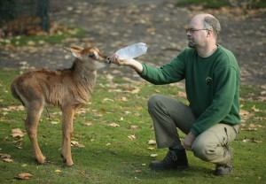 Young Sable Antelope Gets Bottle-Feeding