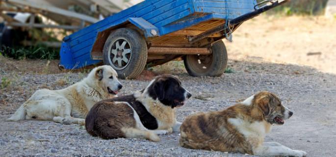 trois chiens errants deviennent bons amis apr s avoir attaqu une personne g e le. Black Bedroom Furniture Sets. Home Design Ideas