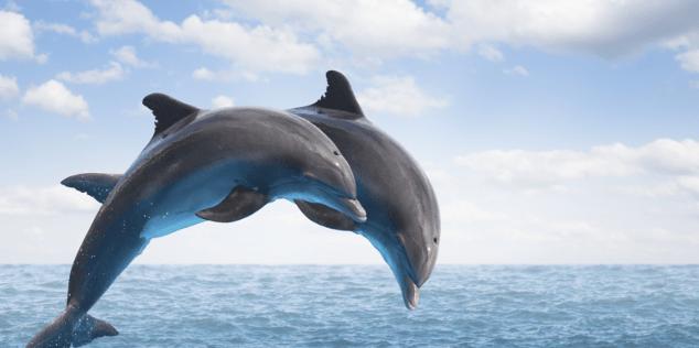 Diaporama ces dauphins qui n ont pas rev tu les couleurs - Dauphin dessin couleur ...