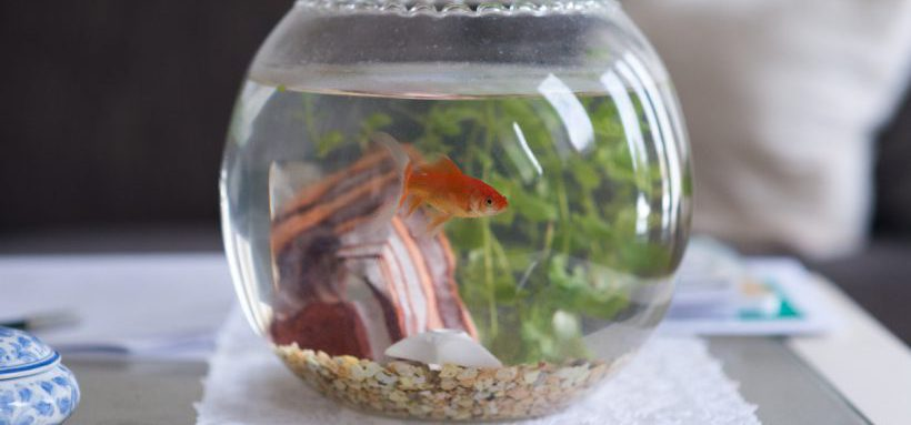 Un poisson rouge totalement impatient de visiter le reste for Petit aquarium boule